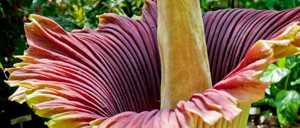 Flor cadáver, a flor rara e fedorenta
